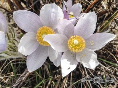 Pasque flowers, Mueller SP, CO.