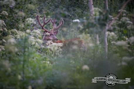 Large buck, Piney Lake, Vail CO.