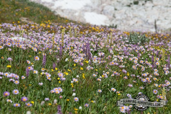 Wildflowers galore! Sugarloaf Rec. Area, WY.