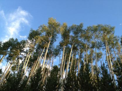 Towering aspens. Steamboat Lake, CO.