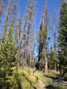 Pine Beetle trees along Burn Ridge Trail.