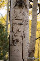 Bear scratches on aspens. Sylvan Lake S.P.