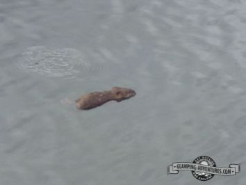Biggest muskrats we've ever seen! Sylvan Lake S.P.