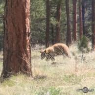 Black Bear (honey colored).