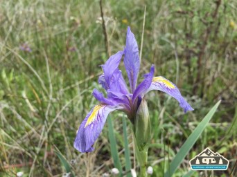 Rocky Mountain Iris. CO Trail. Kenosha Pass, CO.
