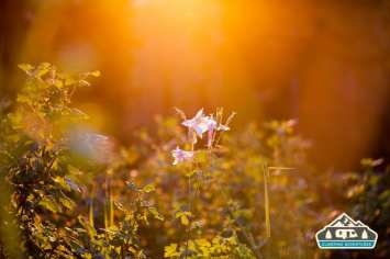 Columbines in the sunset.