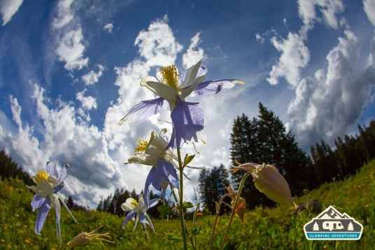 Columbines. Arch Slough, Grand Mesa CO.