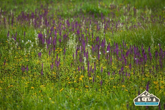 A herd of Elephant Flowers. Arch Slough, Grand Mesa CO.