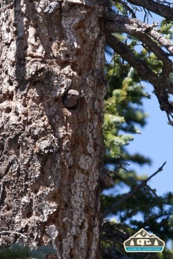 Flicker nest. Pawnee CG.