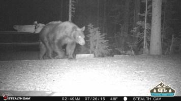 2. Bear walking through our site.
