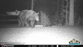 2. Bear walking through our site.