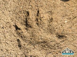 Bear track. Chambers Lake C.G.