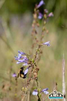 Bumble Bee on American Vetch. Heaton Bay C.G., Colorado.