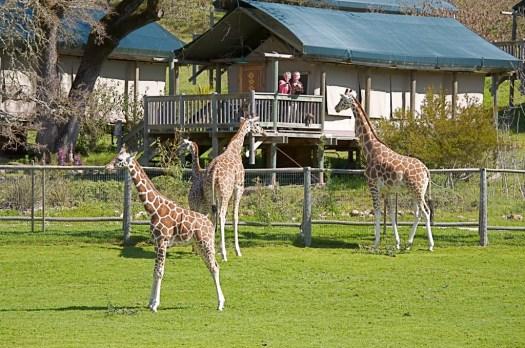 giraffe-tent-1