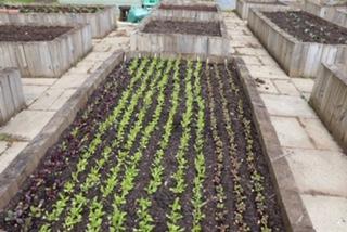 Veg grown in rows in a raised bed