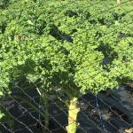 Kale and Chard Saag Paneer Recipe