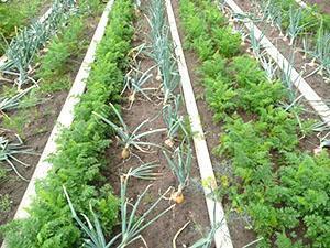 Какие растения сажают с овощами. С чем можно сажать свеклу на одной грядке