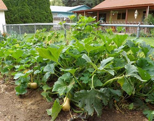 Как вырастить тыкву в открытом грунте, полив, прищипывание ...