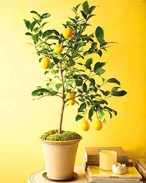 Mango Tree dating färdigheter geologisk dating