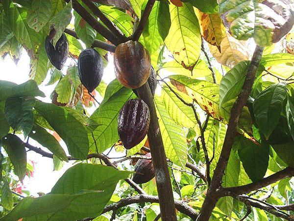 Mognad av kakao frukter