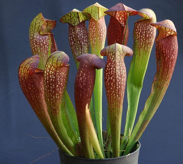 Samen Carnivore mit Orchideenduft Roter Sonnentau Drosera Fängt Ungeziefer