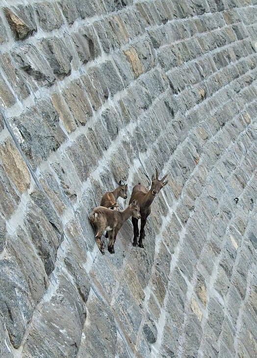 Фото: 5 - Застывшие над пропастью: козлы, которым не ...