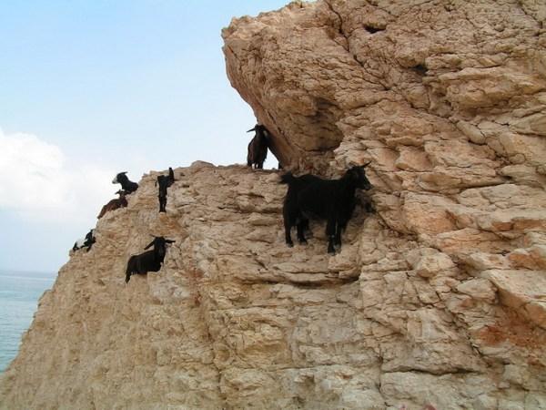 Фото: 15 - Застывшие над пропастью: козлы, которым не ...