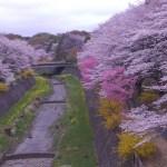 13'cherry blossom
