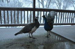 Peacocks in winter