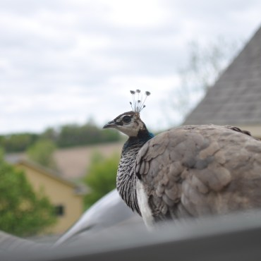 """Emerald, the peahen, on the roof saying """"hello"""""""