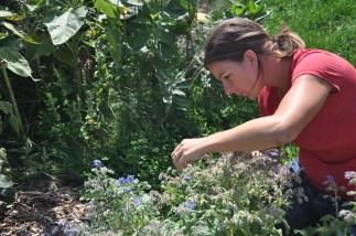 Veronica Shukla tends to her front yard garden full of edibles