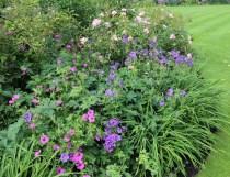 Geranium 'Johnson's Blue' and Geranium 'Patricia'