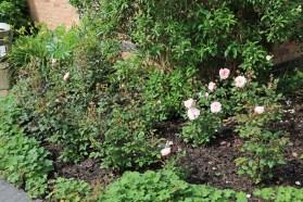 Rosa 'Irene Watts'