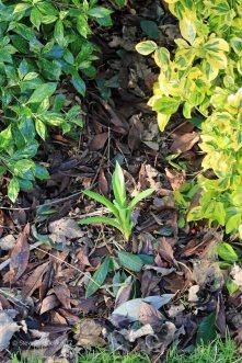 Allium Spider similar to Schubertii