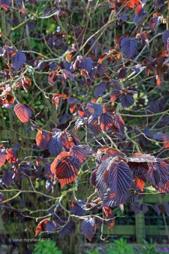 Corylus maxima Purpurea (Purple Hazel)