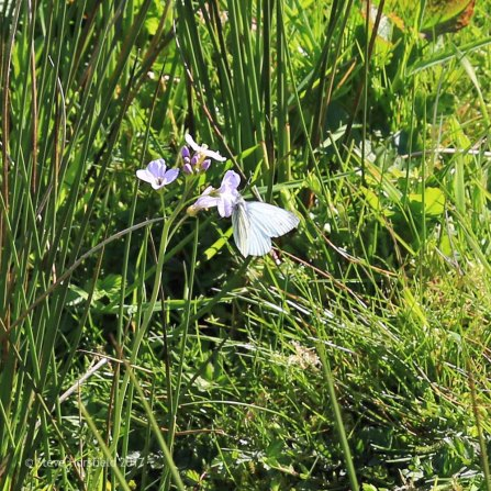 Cuckoo Flower Cardamine pratensis and Green-veined White Butterfly Pieris napi