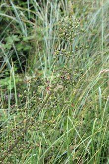 Balm-Leaved Figwort (Scrophularia scorodonia )
