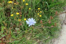 Chicory ( Cichorium intybus )