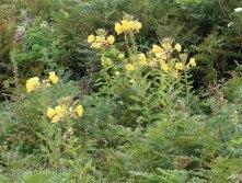 Evening primrose (Oenothera erythrosepala )