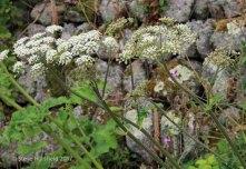 Hogweed (Heracleum sphondylium )