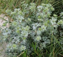 Sea Holly (Eryngium mariitimum )