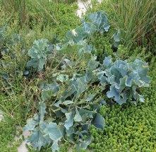 Sea Kale (Crambe maritima )