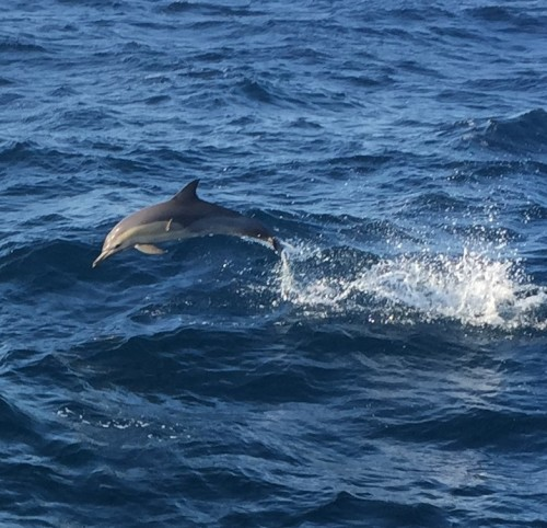 whale watching picture-dolphin