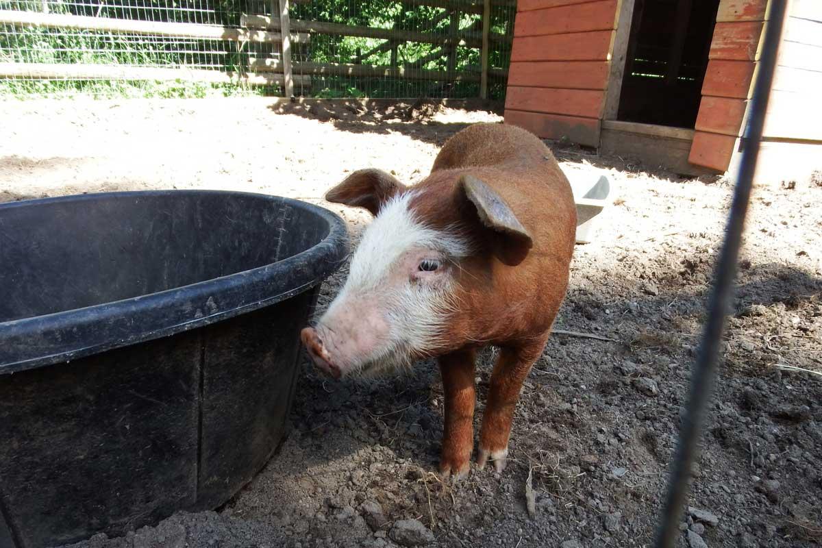 Around the farm, piglet.