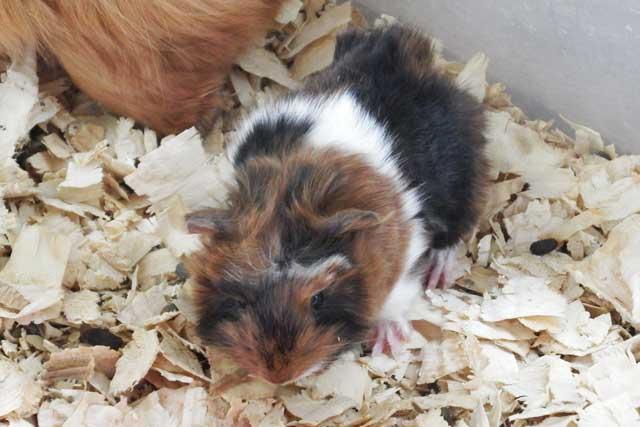 baby giunea pig