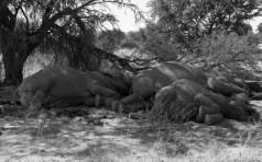 Desert elephants - lights out