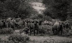 buffalo-zambezi