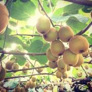 I never knew kiwi fruits grew on vines.