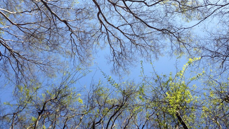 Photo of 2 rows of trees from vantage point of camera pointed straight up. Branches along the bottom of the frame have green leaves on them. Branches along the top of the frame are mostly barren. In between the two rows is a narrow strip of blue sky.