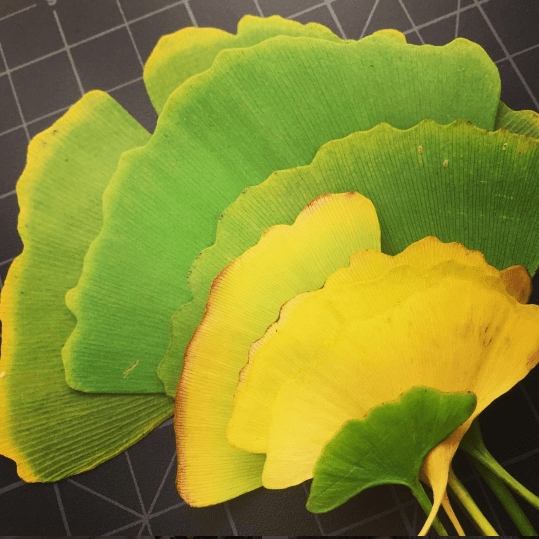 photo of green and yellow Ginkgo biloba leaves by Marcelo Ceballos